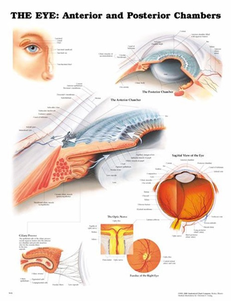 Eye model charts anterior and posterior eye diagram 20 x 26 ccuart Images