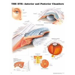 eye model chart that shows the anterior and posterior of the eye
