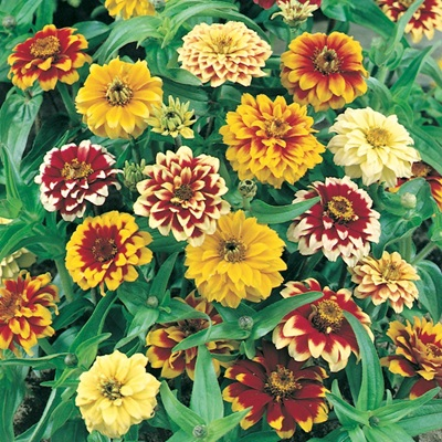 Zinnia Button Box Mix