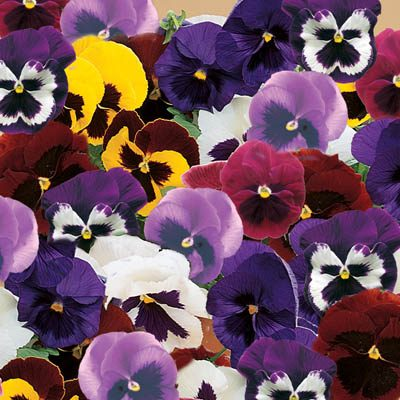 Pansies Majestic Giants Mix