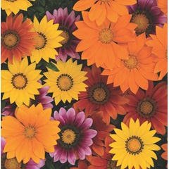 Gazania New Day Bright Mix