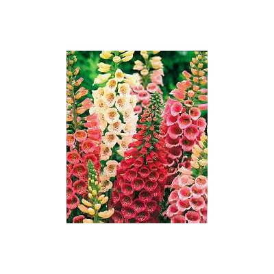 Foxglove Showy Mixture (Digitalis Mix)
