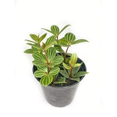 Peperomia Iron Cross