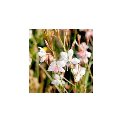 Gaura The Bride