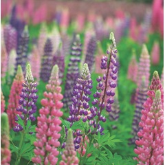 Lupins Russell Hybrid Mix