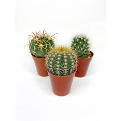 Cactus - Assorted