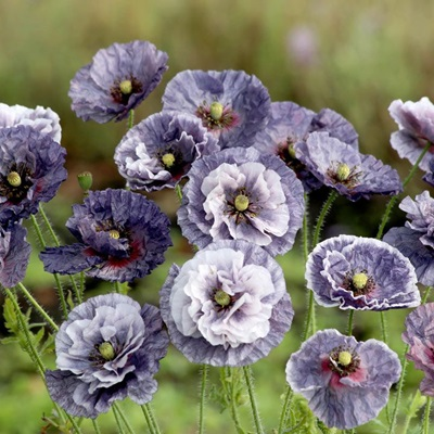 Poppy 'Amazing Grey'