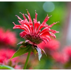 Bee Balm Panorama Red Shades