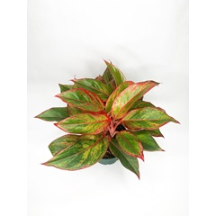 Aglaonema - Red Emerald