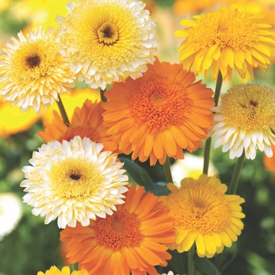 Calendula Kinglet Mix