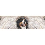 Bernese Mountain Portrait