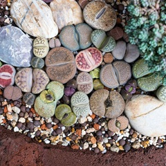 Houseplant  - Lithops (Living Stones) Gem Stones Collection