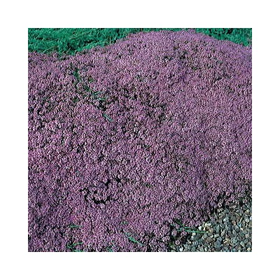 Mother-Of-Thyme Creeping Thyme