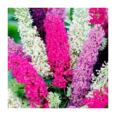 Buddleia Butterfly Magnet Mix