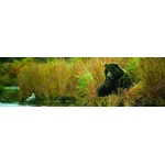 Grizzly Bear On Kulik River