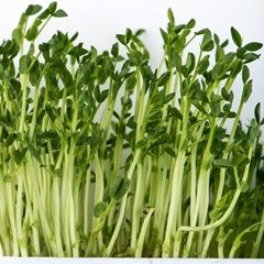 Speckled Green Pea Sprouts