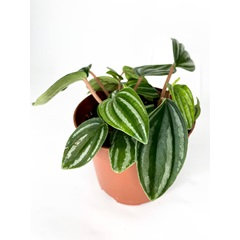 Peperomia Watermelon Mini