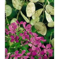 Honesty Silver Dollar Lunaria