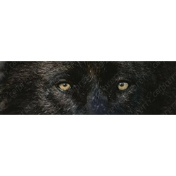 Black Colored Wolf Eyes
