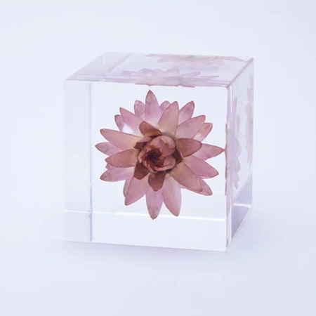 Sola Cube Strawflower